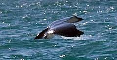 Humpback Whales (C) 2008