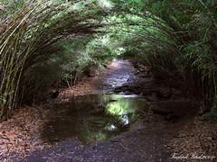 Pequeo tunel natural / Bariloche (Facu551) Tags: patagonia naturaleza nature argentina rio forest negro bosque sur tunel sendero bariloche arrayanes arrayan cruzadas ltytr1 colihue a3b