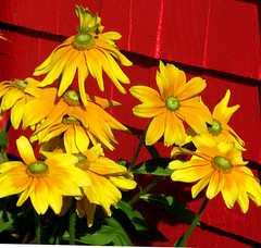 Trois-Pistoles -  Yellow Flowers, Trois-Pistoles (Marie-Marthe Gagnon) Tags: flowers red canada yellow wall square hope nikon quebec marthe north vivid icon heat stlawrence smalltown troispistoles d300 redbackground basques pistoles iamcanadian 3pistoles posterwall naturesquare flickrchallengegroup flickrchallengewinner mariegagnon mariemarthegagnon mariemgagnon infrontofred