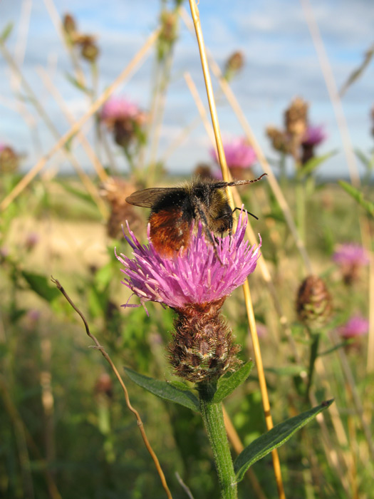 Bumblebee on Knapweed