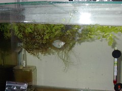 Colisa Lalia breeding tank (Mihnea Stanciu) Tags: plants fish aquarium tank nest dwarf fishtank tropical lalia gourami tropicalfish bubblenest vechi bublle dwarfgourami colisalalia vechituri colisa anabantidae breedingtank
