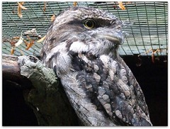 Unusual looking raptor - Cotswold wildlife park (macfudge1UK) Tags: park uk summer england bird nature fauna zoo europe wildlife raptor 2008 madagascar oxfordshire birdofprey oxon burford birdwatcher tawnyfrogmouth frogmouth cotswoldwildlifepark wildlifepark iloveit podargusstrigoides cwp allrightsreserved specanimal golddragon abigfave worldbest bradwellgrove itsazoooutthere naturethroughthelens