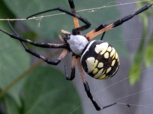 golden orb weaver (garden spider)