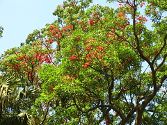 Suin - corticeira da serra - Bico de papagaio- nozzle parrot - Sapatinho de judeu - jew shoes tree - flowers (Erithrina falcata) arboretum J Botanico Sao Paulo Brazil (mauroguanandi) Tags: erythrina fabaceae erythrinafalcata suin mimamorflores redshrimptree nozzleparrot erithrinabrazil erithrinafalcata