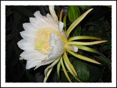Gorgeous flower of Hylocereus undatus (Red Pitaya, Dragonfruit, Night Blooming Cereus, Belle of the Night)