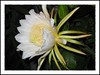 Hylocereus undatus (Red Pitaya, Red Pitahaya, Dragonfruit, Dragon Fruit, Night Blooming Cereus, Belle of the Night, Strawberry Pear, Conderella Plant, 'Buah Naga', 'Thanh Long')