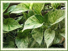 Epipremnum aureum 'Marble Queen' (Pothos, Devil's Ivy, Money Plant, Silver/Taro Vine, Hunter's Robe)