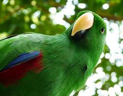 Green Fella' (Don Benova) Tags: cute green bird animal closeup lumix zoo bokeh wildlife beak parrot portraiture canary tua negara kakak burung kenari pdpnw mergastua fz18 paruh