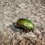 Escarabat verd thumbnail