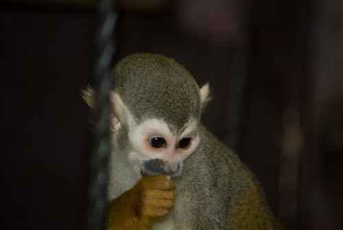 Squirrel Monkey sucking his thumb
