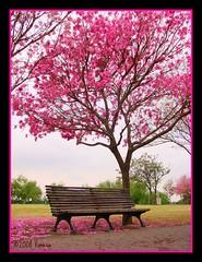 Pink love (***Vanesa***) Tags: flores floral rosario parquesunchales lapachos naturewatcher theworldinpink flickrsmasterpieces