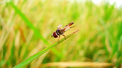 Ready, Steady, Go! (Orioon ) Tags: macro insect fly ecuador bokeh flies campo ricefields mosca guayaquil