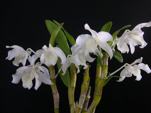 Dendrobium nobile virginale (4N)
