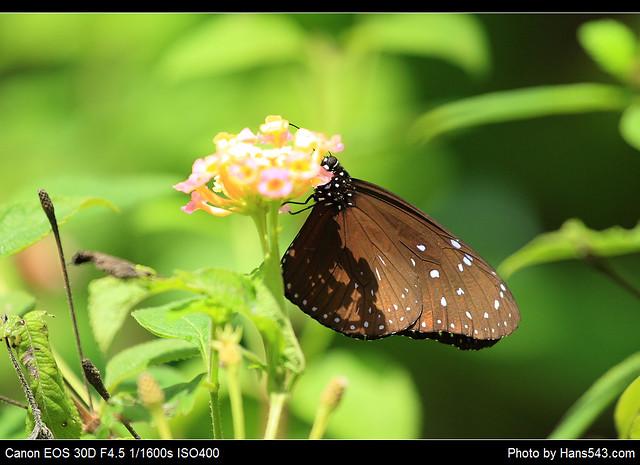 蝴蝶_Butterfly_03