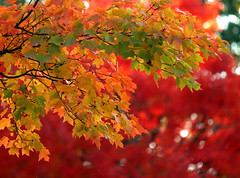 leaves (daytrpr) Tags: autumn red orange fall leaves yellow maple worcester