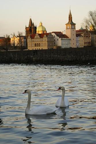 Cisnes en el Moldava