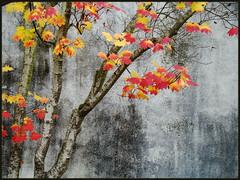 artistic nature (artistgal) Tags: autumn trees leaves yellow gold maple grandmother bigmomma yourock1stplace pregamewinner motmjan2012