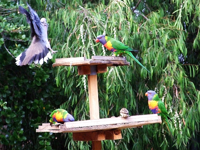 one pigeon three lorikeets one sparrow