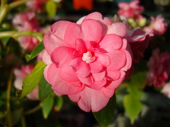 Double Impatiens Hybrid (jayessbark) Tags: pink summer plant flower greenhouse hybrid impatiens doublebloom