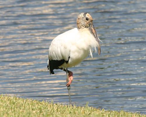 Wood Stork Resting Left Leg 20081122