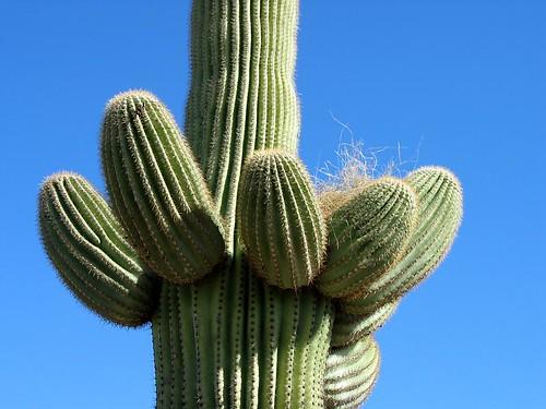 saguaro-21