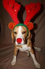 Oscar the Red Nosed Beagle (photographerglen) Tags: santa christmas xmas dog pet cute beagle halloween animal canon funny 100views 200views rudolf 50views custume coustume