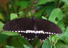 Common Mormon (Male)