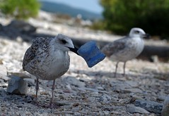 The beach cleaner (akk_rus) Tags: bird nature birds nikon europe seagull gull croatia rovigno rovinj adriatic istria jadran istra d80 passionphotography  abigfave nikond80  anawesomeshot impressedbeauty