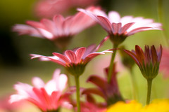 Window or aisle? (harold.lloyd) Tags: pink light flower canon bokeh 50mmf14usm mmmyay awesomeblossoms mondayisnotblue dheml happymondyay daisery helpfulyesyes