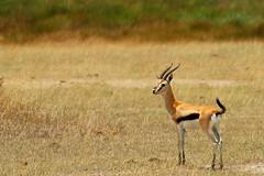 DSC_3520 (Finbar 2109) Tags: tanzania serengeti gazelle