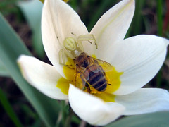 Tragedy in tulip flower :o) (Mikhail Ursus) Tags: flowers plants macro nature whiteflower spring spiders insects tulip mygarden tulipa misumenavatia