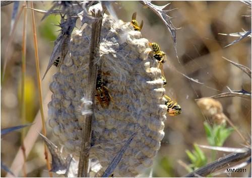 20110617 nido de avispas sobre un cardo seco