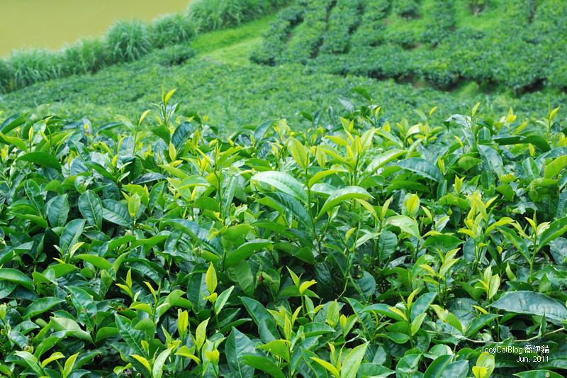 【南投】阿薩姆紅茶的故鄉。貓蘭山步道之旅DSC_1842