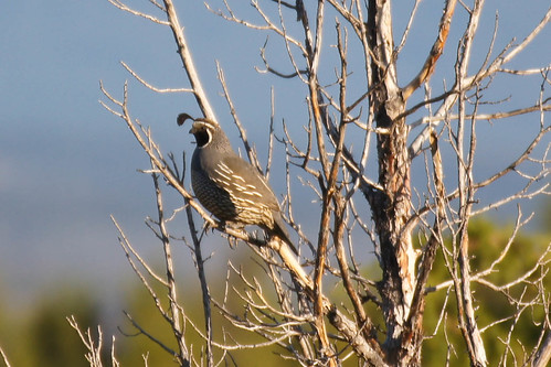 California Quail in Tree
