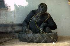 killing time in my cage (olszuffka) Tags: france animal animals zoo ape