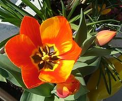 Tulpe M�rz 08
