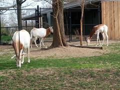 National Zoo - Scimitar-horned Oryx & Dama Gazelle (fkalltheway) Tags: nationalzoo gazelle scimitarhornedoryx fkalltheway oryxwashington dcdama