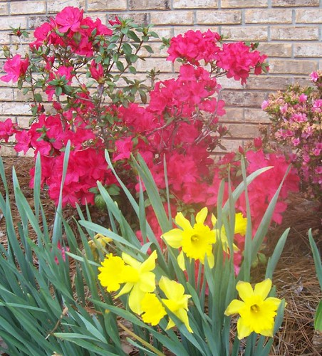 Azaleas and daffodils