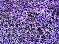 Spring flowers (biedk) Tags: flowers denmark danmark blomster catchycolorsviolet abigfave