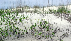 gentle dunes (pitysing) Tags: ocean light plants texture beach nc sand dunes sandy grasses oldgrowth newgrowth