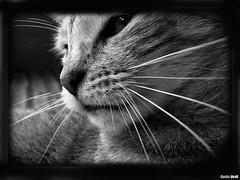 p006flck (aanks) Tags: bw cat photography bestofcats photofaceoffwinner a3b pfogold boc0508