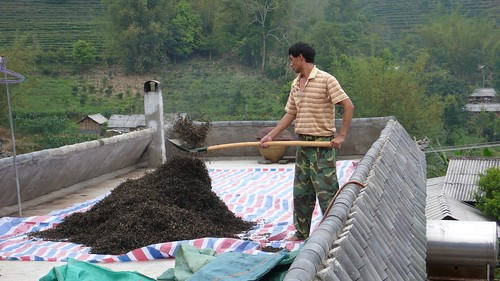gathering up maocha after sun withering