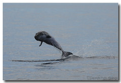 Kogia breviceps (PedroMadruga) Tags: ocean wild mammal wildlife pico d200 azores aores breach cetaceo cetacean openocean pedromadruga southofpico suldopico earthtouchcom
