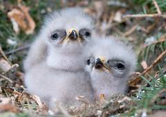 Hiirihaukat (mattisj) Tags: bird buzzard buteobuteo birdwatcher lintu specanimal hiirihaukka abigfave blueribbonwinne avianexcellence naturewatcher bfgreatesthits onephotoweeklycontest