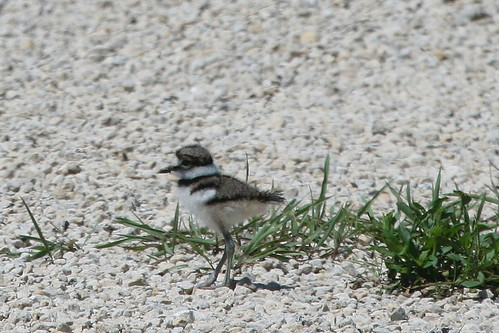 Young Killdeer