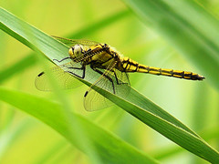 Black-tailed Skimmer on a string (Bn) Tags: fab topf50 bravo searchthebest quality breukelen libellulidae naturesfinest blacktailedskimmer orthetrumcancellatum supershot 50faves 35faves abigfave ultimateshot diamondclassphotographer flickrdiamond rivervecht goldstaraward europeandragonfly 25fvaes gewoneoeverlibelvrouwtje oeverlibelvrouwtje fiberofaplant aandevecht bacikisseskusse