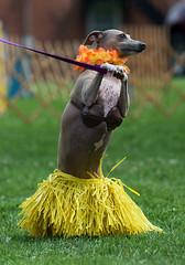 Aloha! (charleebear) Tags: ohio dog greyhound costume italian community hula contest days 2008 jog aloha brecksville