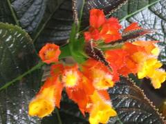 Chrysothemis pulchella (Copper Leaf)