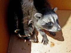 Baby Raccoon Rescue ~ 1 of 4 photos (Urban Woodswalker) Tags: rescue cute nature animal forest lost furry woods babies fuzzy wildlife urbanwildlife creatures mammals raccoons resuce urbanwoodswalker