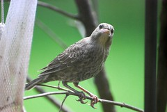 Visitor - Bird (blmiers2) Tags: pictures wild newyork bird nature beautiful birds geotagged photo photos pics photographs jpg smallbirds carduelistristis blm18 blmiers2